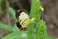 African Common White (Belenois creona severina) female on Yellow Justicia (Justicia flava) (17147865407).jpg