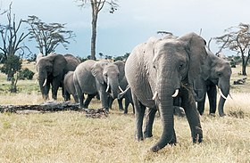 http://upload.wikimedia.org/wikipedia/commons/thumb/2/26/African_Elephants_in_Sweetwater_National_Parks_Kenya.jpg/280px-African_Elephants_in_Sweetwater_National_Parks_Kenya.jpg