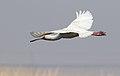 African Spoonbill, Platalea alba at Marievale Nature Reserve, Gauteng, South Africa (20976668214).jpg