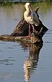 African Spoonbill, Platalea alba at Rietvlei Nature Reserve, Gauteng, South Africa (22792959412).jpg