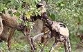 African painted dog, or African wild dog, Lycaon pictus at Savuti, Chobe National Park, Botswana. (32699285475).jpg