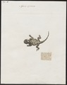Agama spinosa - 1700-1880 - Print - Iconographia Zoologica - Special Collections University of Amsterdam - UBA01 IZ12700097.tif