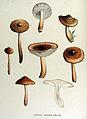 Agaricus vaccinus — Flora Batava — Volume v15.jpg