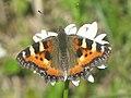 Aglais urticae - Small tortoiseshell - Крапивница (39342119940).jpg