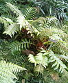 Aglaomorpha meyeniana BotGardBln07122011A.jpg