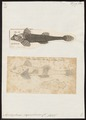 Agonus stegophthalmus - 1700-1880 - Print - Iconographia Zoologica - Special Collections University of Amsterdam - UBA01 IZ13300085.tif