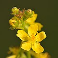 Agrimonia eupatoria - Keila.jpg