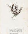 Ahnfeltia plicata Crouan.jpg