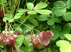definition of lardizabalaceae