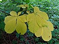 Albino Horse Chestnut leaves, Spiers Old School Grounds, Beith, Ayrshire.jpg