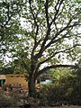 Albizia saman (Raintree) (9).jpg