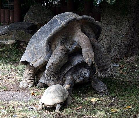Aldabra tortoises mating 1.JPG