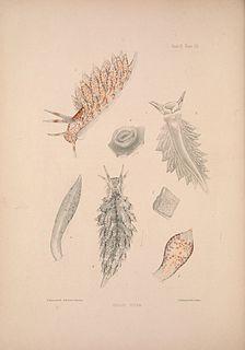<i>Eubranchus pallidus</i> species of mollusc