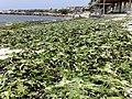 Algas muertas en la playa - panoramio.jpg
