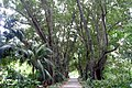 Alley of trees in botanic garden Adelaide.jpg