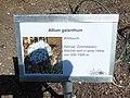 Allium galanthum.jpg