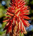 Aloe (32712990534).JPG