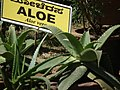 Aloe from Lalbagh 2345.JPG