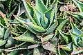 Aloe perfoliata in Botanischer Garten Muenster (4).jpg