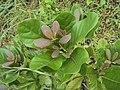 Alseodaphne semecarpifolia 25.JPG