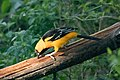 Altamira Oriole National Butterfly Center Mission TX 2018-03-01 16-18-52 (25792502067).jpg
