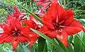 Amaryllis in my garden.jpg