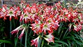 Amaryllis many -- Hippeastrum correiense.jpg