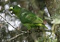 Amazona mercenarius Lora Andina Scaly-naped Parrot (14174647360).jpg