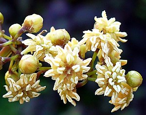 New Caledonia - Amborella, the world's oldest living lineage of flowering plant