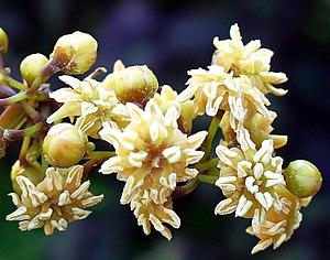 Amborella trichopoda. Wertheim Conservatory, F...