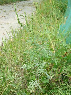 Ambrosia artemisiifolia 1.JPG