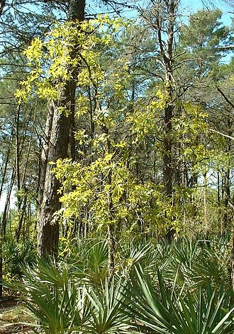 Southeastern conifer forests - Turkey oak near Palm Bay, Florida.