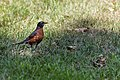 American Robin (43294901555).jpg