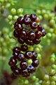 American Spikenard (Aralia racemosa) - Saratoga Springs, New York 2015-08-22 (02).jpg