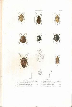 Suites à Buffon - Image: Amyot C.J.B.1843 Histoire naturelle des insectes. Hemipteres. Planche II