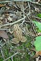 An American toad in the forest of the South River Greenway, Maryalnd (7507909438).jpg