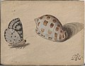 An Arrowhead Blue Butterfly and a Scotch Bonnet Sea Shell MET DP206137.jpg