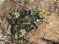 Anaplectoides prasina - Green arches - Большая зеленоватая совка (40370330144).jpg