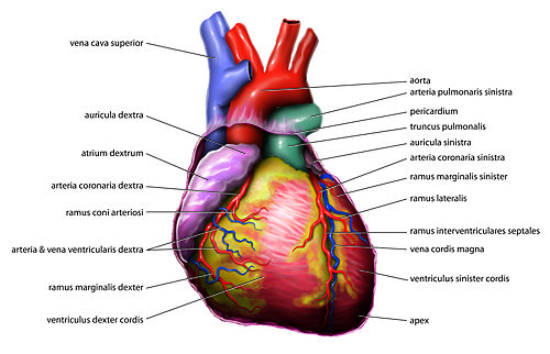 File Blausen 0451 Heart Anterior additionally Cat Anatomy Facts For Kids further 03 further 20182415 skeletal and muscular further Diagrams Of Feline Arterial And Venous. on organ diagrams blank ventral cavity