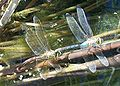 Anax junius-Laying eggs-4.jpg