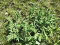 Anchusa arvensis sl13.jpg