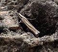 Ancylolomia tentaculella^ Pyralidae - Flickr - gailhampshire.jpg