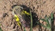 File:Andrena vaga (Burgwald).ogv