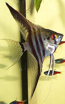 Angel fish.JPG