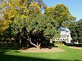 Angers, Jardin du Musée des Beaux-Arts, arbousier en fleurs.JPG