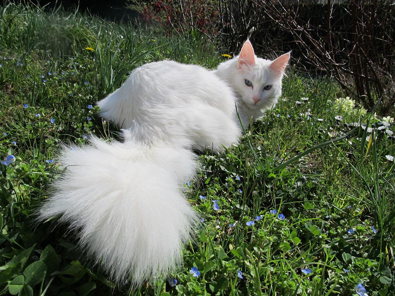 chat angora turc à DONNER