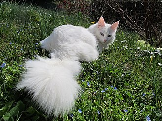 Turkish Angora - A white Turkish Angora cat