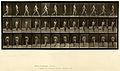 Animal locomotion. Plate 11 (Boston Public Library).jpg