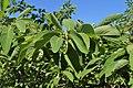 Annona squamosa kz02.jpg