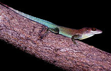 Anolis lividus on branch 2.jpg